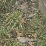 Pluie de pigeons morts en Italie et d'autres animaux dans le monde