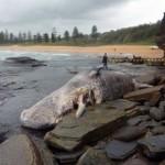 Cachalot échoué à Sydney, Baleine en Tunisie et Ambre gris du Cachalot