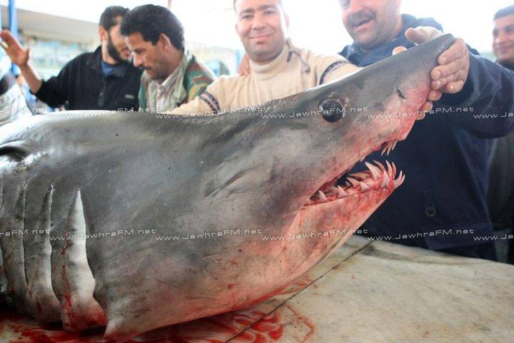 Requin pêché à Teboulba en Tunisie : Requin blanc ou Requin Mako ?
