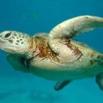 Massacre quotidien de tortue marine en Tunisie