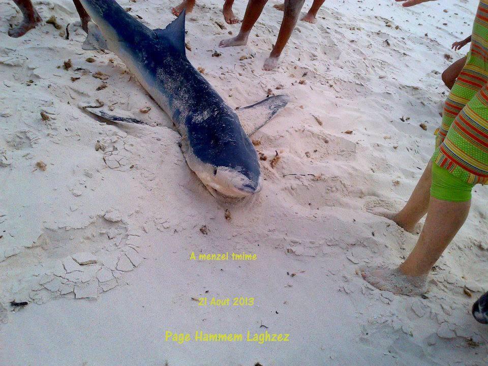 Requin peau bleu échoué à Menzel Temime