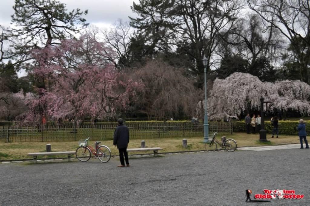 Sakura cerisier Kyoto